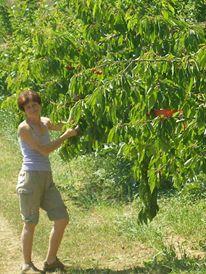 raccolta ciliegie