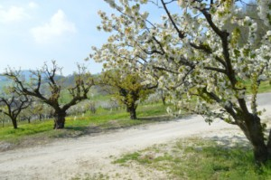 ciliegie in fiore